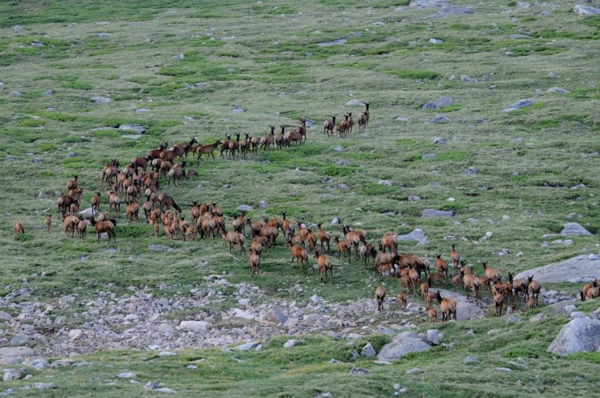 Colorado elk herd. Photo by © CPW.