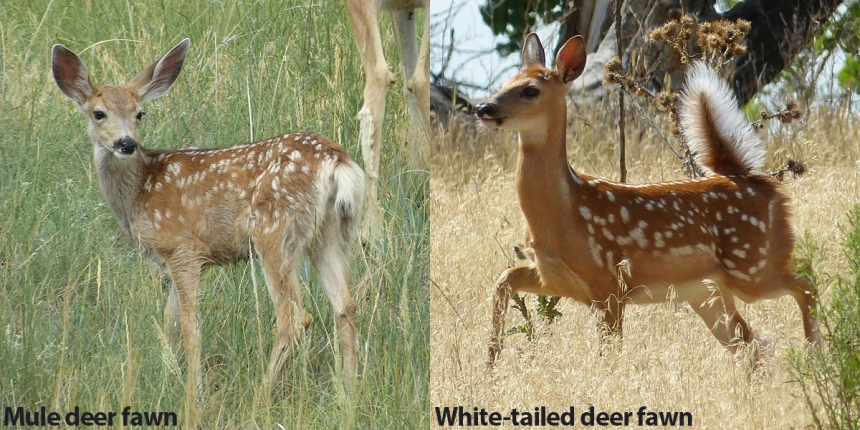 Mule deer vs whitetail fawn