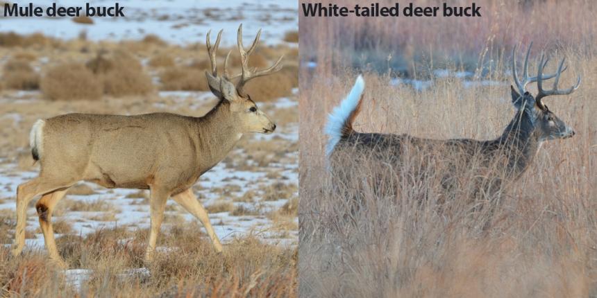Mule vs Whitetail Buck Side