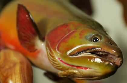 A reproduction cutthroat trout created by taxidermist Jeff Mourning. Photo by Jerry Neal/CPW.