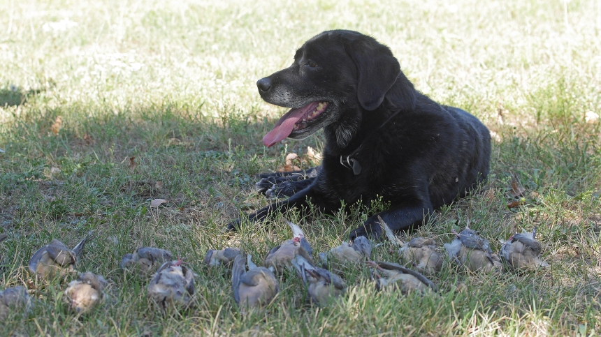 A black Lab rests in the shade after a busy morning. Photo by Jerry Neal/CPW.