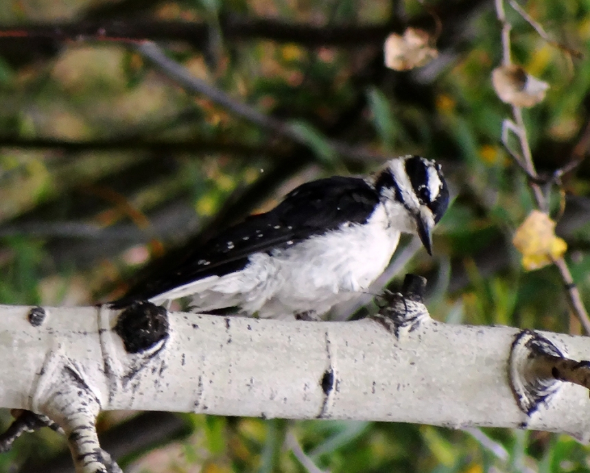 A foraging hairy woodpecker. Photo by Linda Pohle.