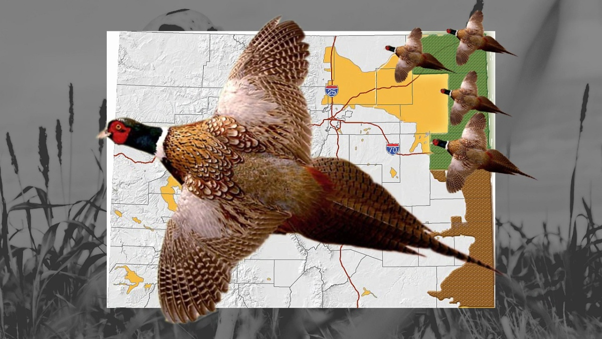 2015 Colorado Pheasant Season (Hunting Forecast) | Colorado Outdoors ...