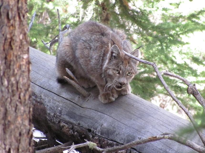 lynx adult on log
