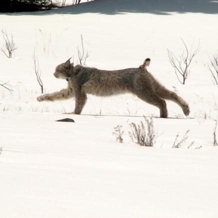 Lynx Release 2006 - TG-20