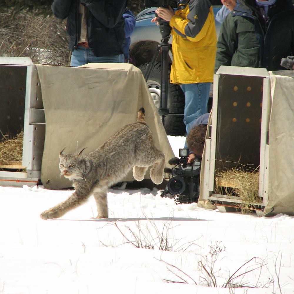 Lynx Release 2006 – TG-31 (2)