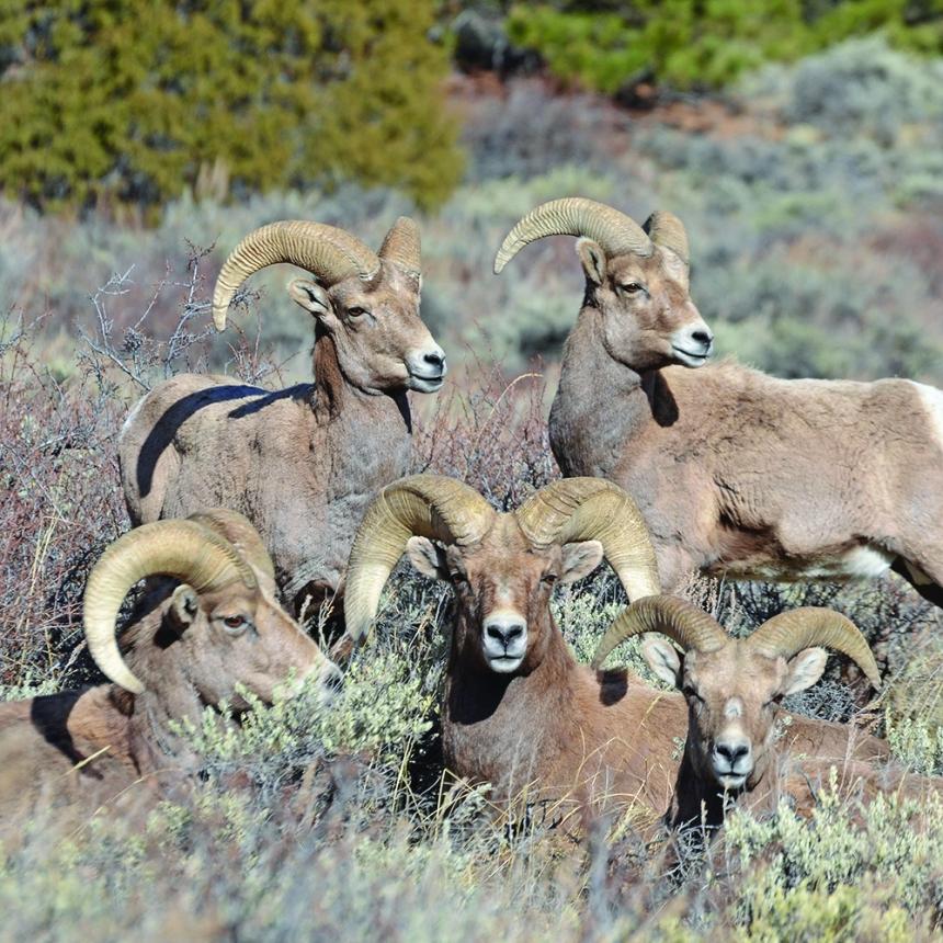 Poudre-Canyon-Bighorn-Rams-Wayne-D-Lewis
