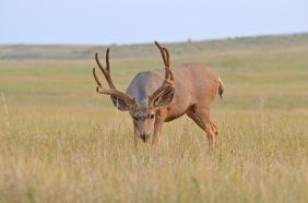 1Mule-deer-buck-Wayne-D-Lewis-DSC_0249