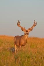 MD-buck-shedding-velvet-Wayne-D-Lewis-DSC_1237