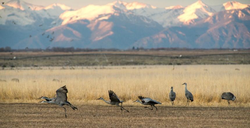 monte-vista-cranes-delliveneri-3