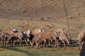 SE-Region-sheep-trap-Wayne-D-Lewis-DSC_0041