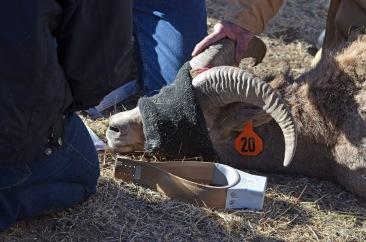 SE-Region-sheep-trap-Wayne-D-Lewis-DSC_0269