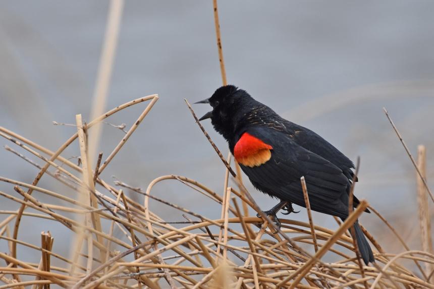 red-winged-blackbird-Wayne-D-Lewis-DSC_0605